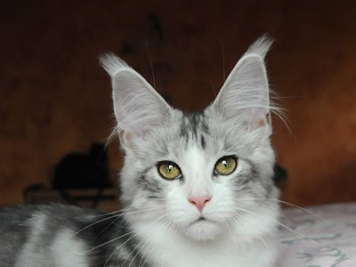 Silver Maine Coon
